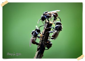 kelulut, stingless bee